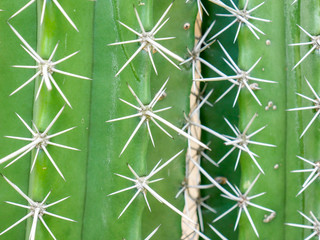 abstract background textuer of Cactus succulent plant