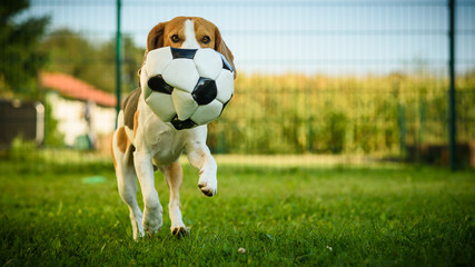 Dog beagle purebred running with a football ball in park outdoors towards camera summer sunny day on green grass