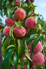 Close up Picture of the red riped peaches on the peach tree or in the organic farming orchard or home garden in summer before be picked up, sweet, delicious, tasty fruits.