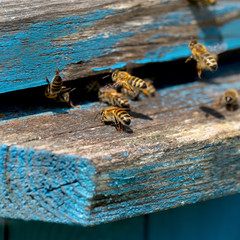 Life of Worker Bees. The Bees Bring Honey