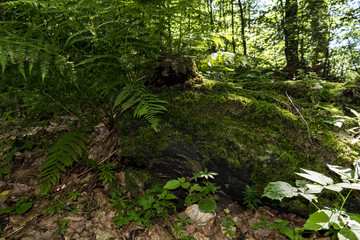 Large, beautiful and green ferns in the forest along the way to the Kozya Stena hut. The mountain in the central Balkan astonishes with its beauty, fresh air and magnetism.
