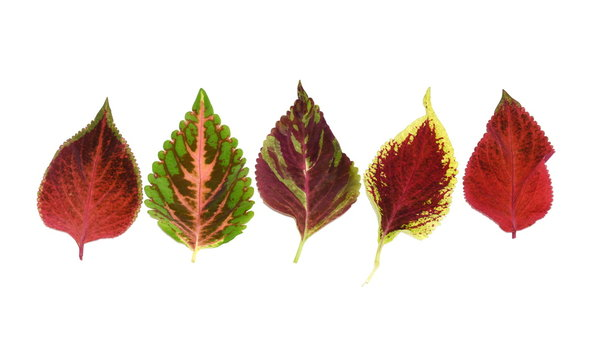 Different colored leaves from Plectranthus scutellarioides Coleus plant isolated on white background