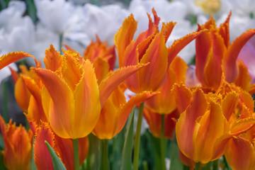 Orange tulips with white flowers background