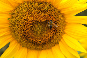 bee collects pollen on sunflower in sunny day