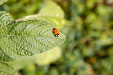 small insect ladybird sits on a green leaf