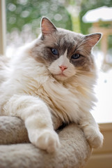 Nice Ragdoll cat. It is best known for its docile and placid temperament and affectionate nature. The name Ragdoll is derived from the tendency to go limp and relaxed when picked up.