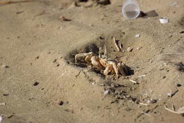 sea crab animal