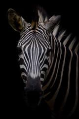 Wall Murals Zebra Zebra on dark background. Black and white image