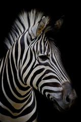 Fototapeta Zebra on dark background. Black and white image