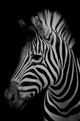Photo sur Plexiglas Zebra Zebra on dark background. Black and white image