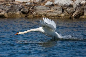 mute swan (cygnus olor) running, water surface, take off
