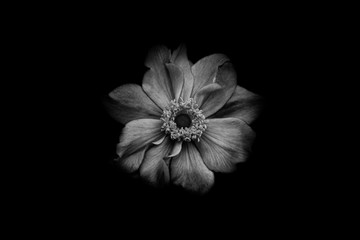 a single romantic flower centered in black and white, with place for your text