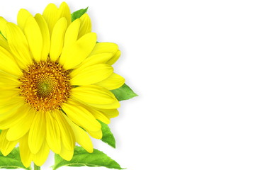 summer blossoming sunflower isolated on white background