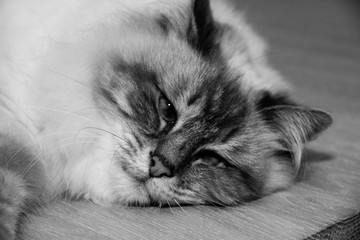 Sweet furry Cat with blue eyes in black and white