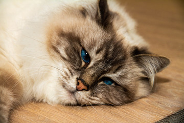 Sweet furry Cat with blue eyes