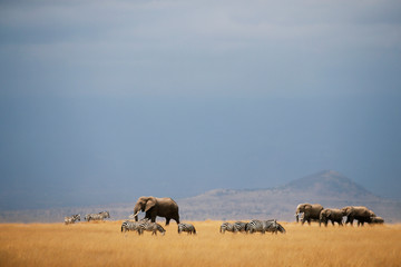 Elephants and zebras walk through the Amboseli National Park,