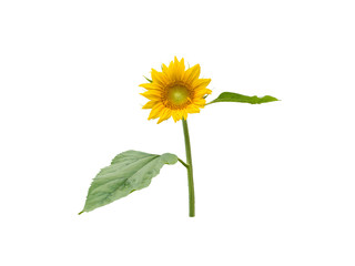 Sunflower round flower head with leaves