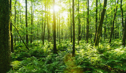 Sunbeams Shining through Natural Forest of Beech Trees