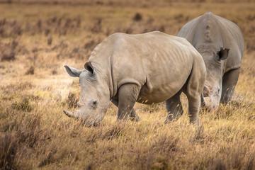 Rhinoceroses. Two Rhinoceroses eat grass. Kenya. Africa. Safari in Africa.