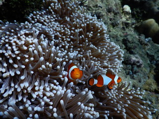Clownfisch Anemonenfisch Biorock Projct Pemuteran Bali Indonesien