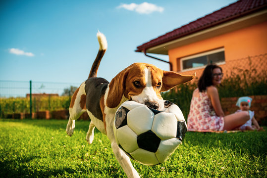 Adorable baby girl with mother and jumping beagle family dog on colorful blanket on green grass. Child having fun watching the dog with soccer ball in his month in summer garden.