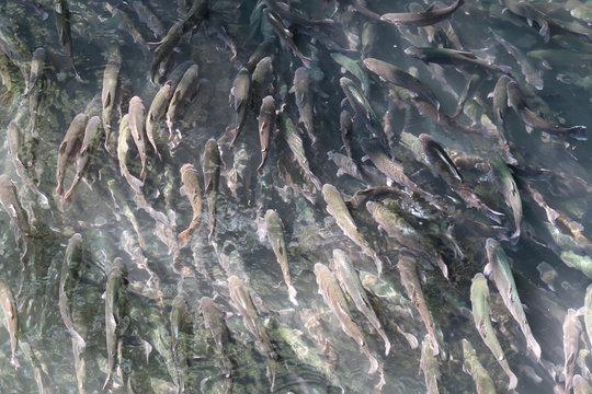 A school of trouts