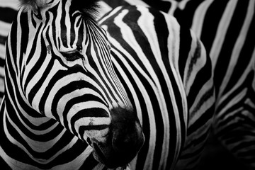 Wall Murals Zebra Zebra on dark background. Black and white image