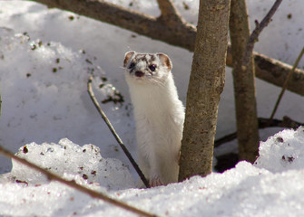 Least weasel on the snow