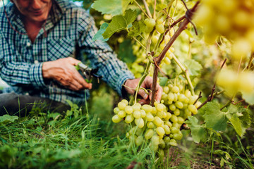 Farmer gathering crop of grapes on ecological farm. Senior man cutting grapes with pruner Fototapete