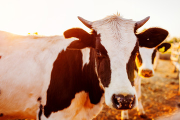 Cows grazing on farm yard at sunset. White and black and brown cattle eating and walking outdoors.