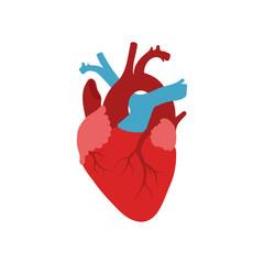 Human heart.  Vector. Flat design.