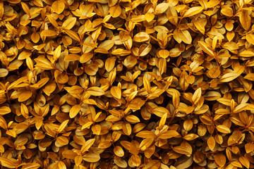 Autumn fall background yellow orange golden foliage pattern. Leaf texture vibrant vivid warm color palette. Backdrop template wallpaper.