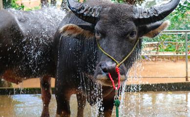 Photo sur Aluminium Buffalo Water buffalo in Vietnam