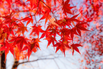 Maple leaf colorful in autumn travel in japan.