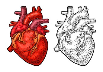 Human anatomy heart. Vector color vintage engraving illustration