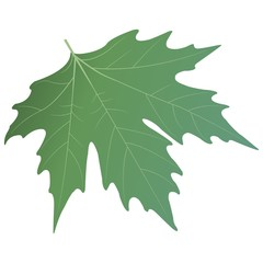 Green sycamore leaf. Vector illustration.