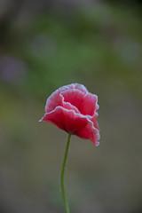 FLOWERS - Poppies on a dark green background