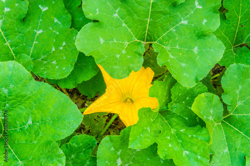 Pumpkin Plant With Big Leaves And Large Yellow Flower Stock Photo