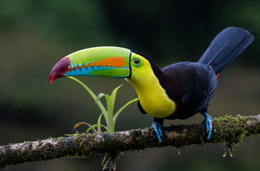 Spoed Fotobehang Toekan A perched keel billed toucan photographed in Costa Rica