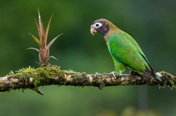 A brown hooded parrot photographed in Costa Rica