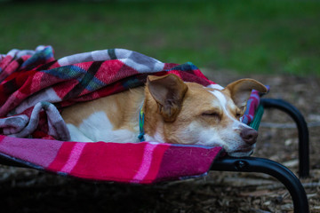 Australian Shepherd Red Heeler Mix sleeps outside on a cot under a blanket