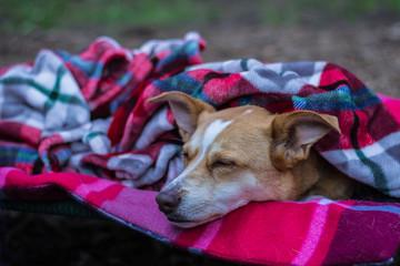 Australian Shepherd Red Heeler Mix - Dog sleeps on a Cot while Camping