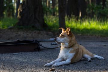 Regal Texas Heeler (Red Heeler and Australian Shepherd Mix) Dog Camping
