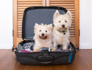 Separation anxiety: two scruffy west highland white westie terrier dogs are in packed suitcase
