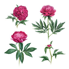 Watercolor illustration of peony flowers. Perfect for greeting cards or invitations