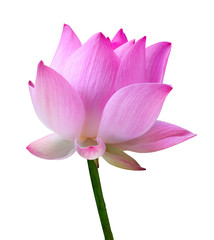 Garden Poster Lotus flower Close up pink lotus flower high resolution isolated on white background