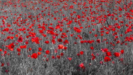 red poppies,selective color, only red and black