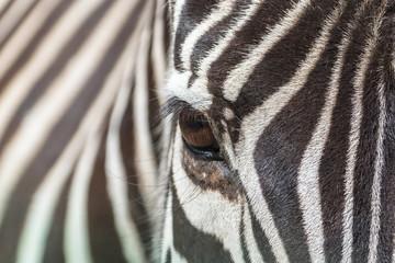 Poster de jardin Zebra Zebra, beautiful eye, closeup