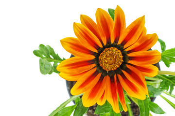 Orange Gazania rigens flower
