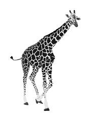 Giraffe vector illustration isolated on white background. African animal. Tallest animal. Safari trip attraction. Big five. Portrait of giraffe.